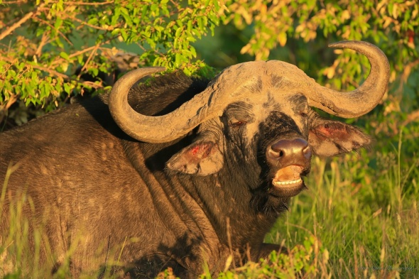 Masai Mara Cape Buffalo