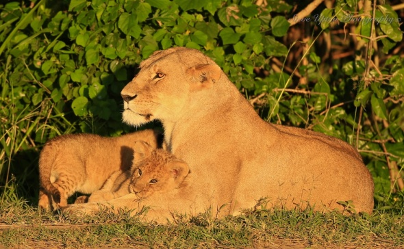 Lioness and cub in Masai Mara