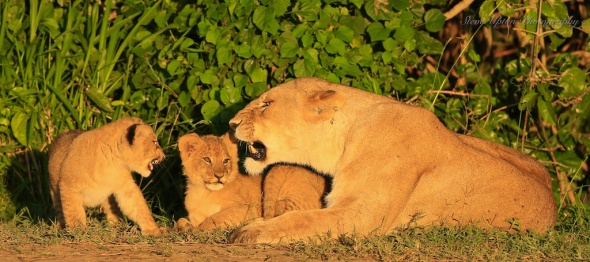 Masai Mara lioness with 2 cubs