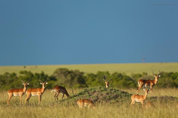 Impalas in Masai Mara
