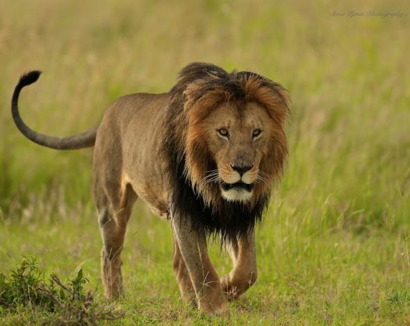 Masai Mara Lion 1