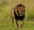 Masai Mara Lion 2