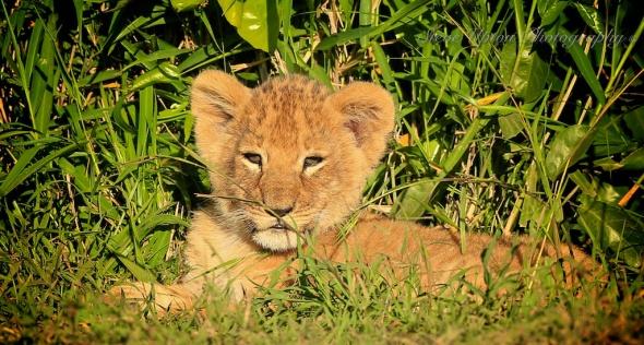 Single lion cub in Masai Mara