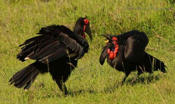 Southern Ground Hornbill feeding mate