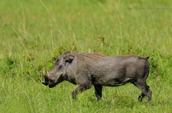 warthog Masai Mara