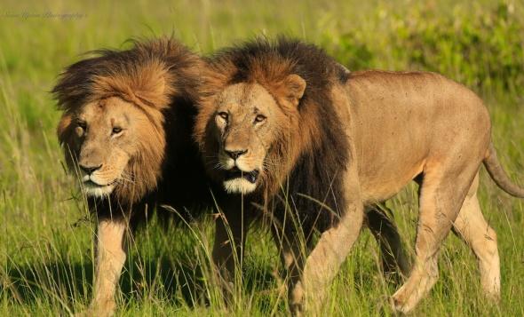 2 lions walking212