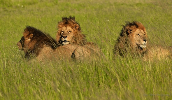 3 lions laying211