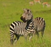 alert zebras