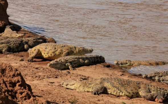 Crocodile group