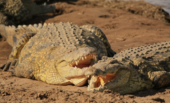 Crocodiles sunning