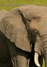 elephant eyelash
