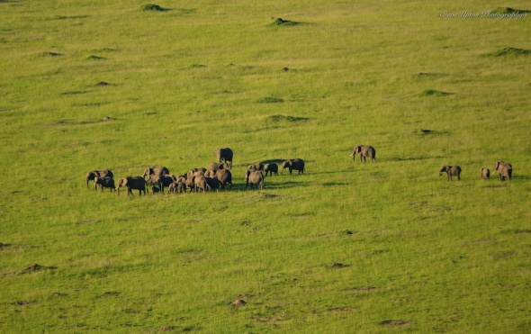 elephants corralling