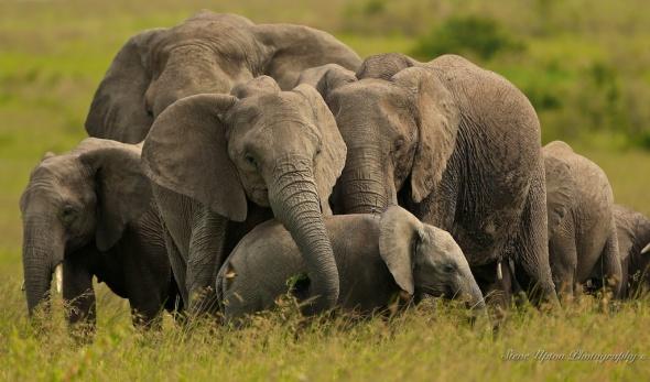 Elephants mass protecting