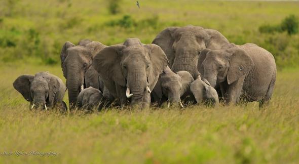 Elephants massing