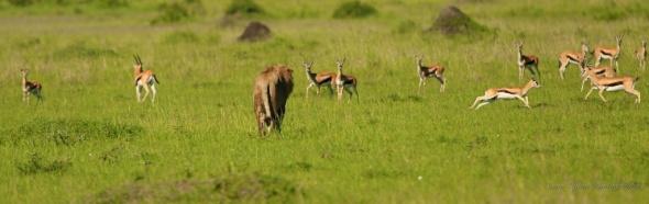 fleeing gazelles