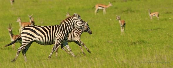 fleeing zebras