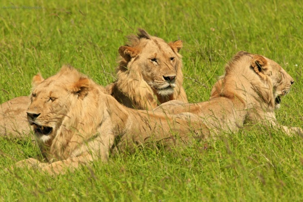 group of juvenile lions