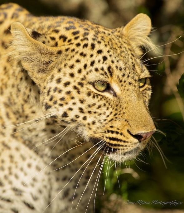 leopard emerging from brush199
