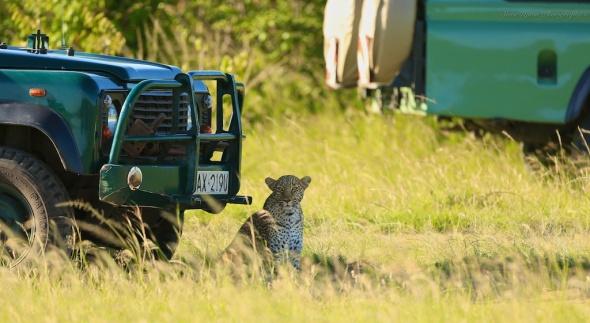 leopard sitting under vechile203