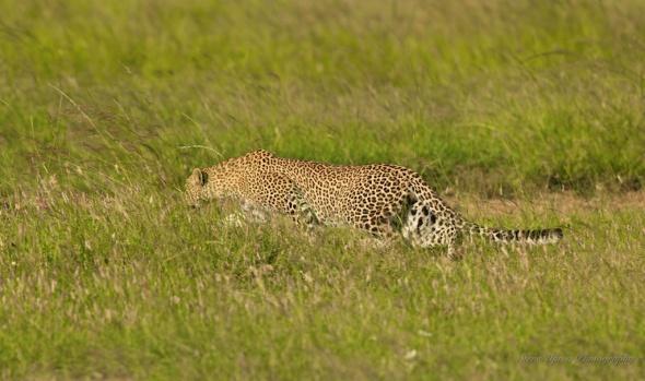 leopard sitting under vechile204