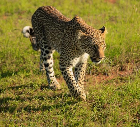 leopard walking200
