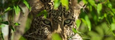 leopard's eyes 1196