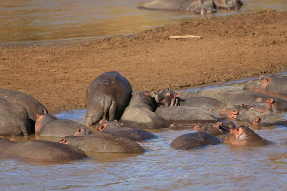 hippo making room