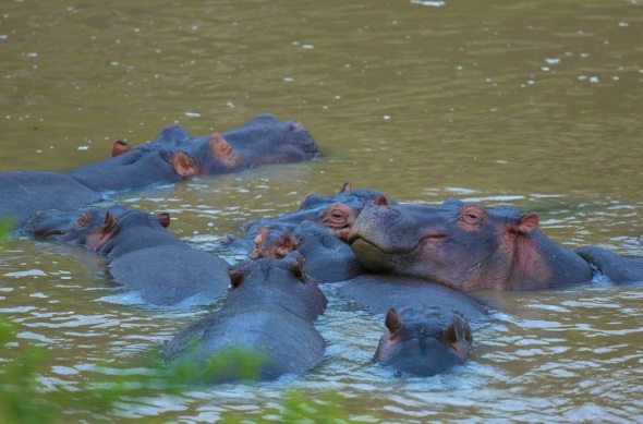 Group of Hippos in river