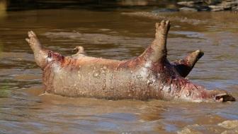 dead Hippo