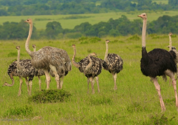 Samoli Ostrich