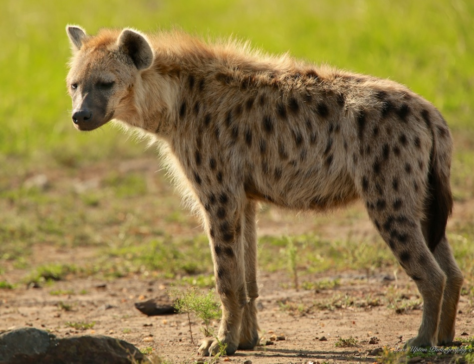 Spotted Hyena standing