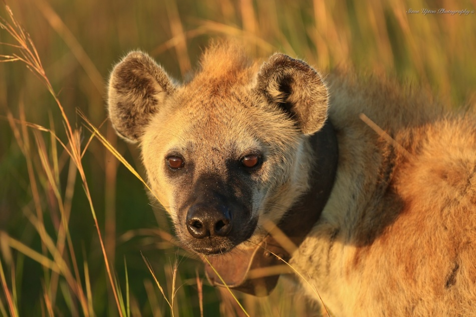 Spotted Hyena with collar