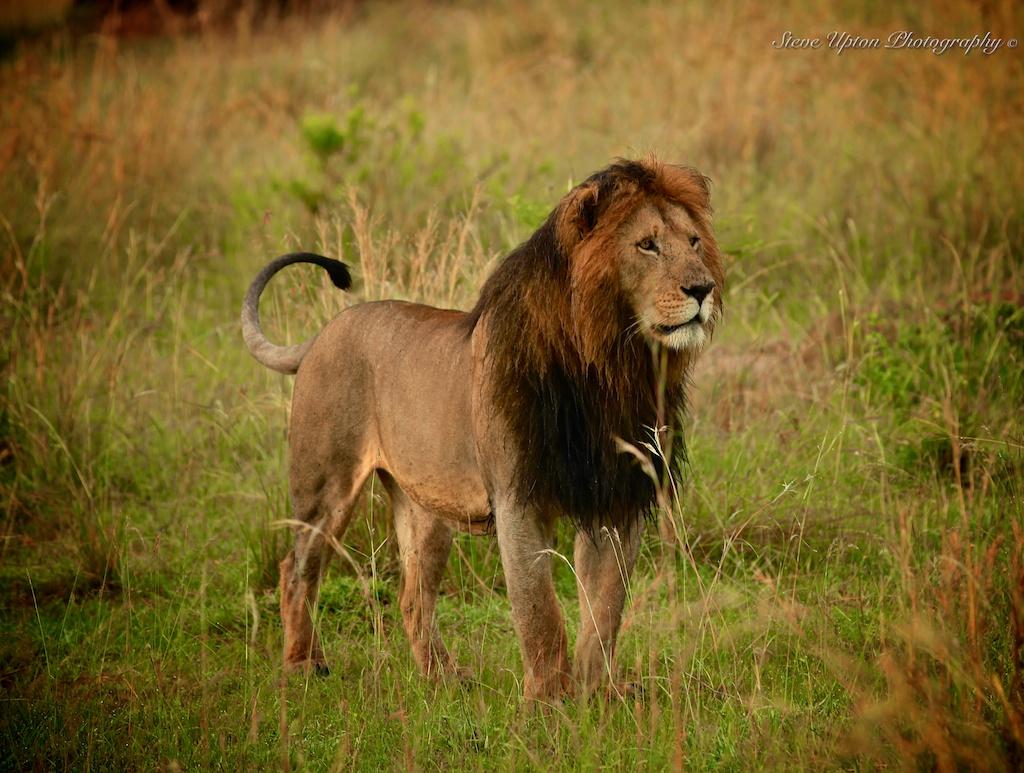 Adult Lion 79