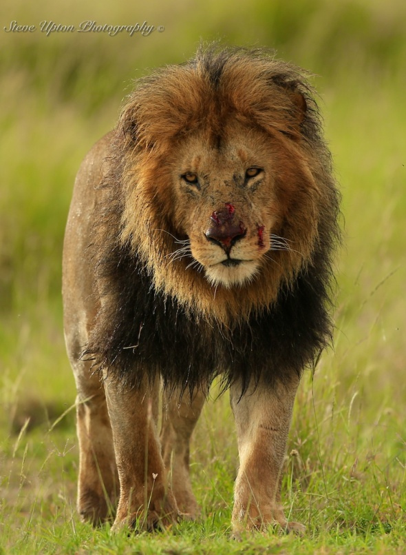 Injured Adult Male Lion