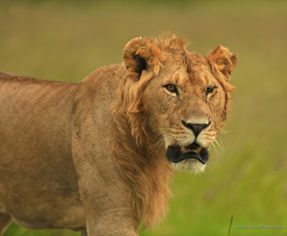 Juvenile Male Lion