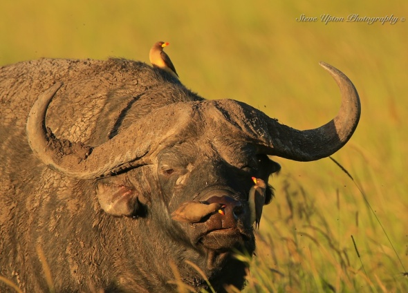 Oxpeckers with Cape Buffalo