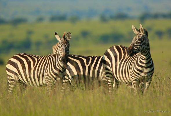 Zebras on the plains of Masai Mara