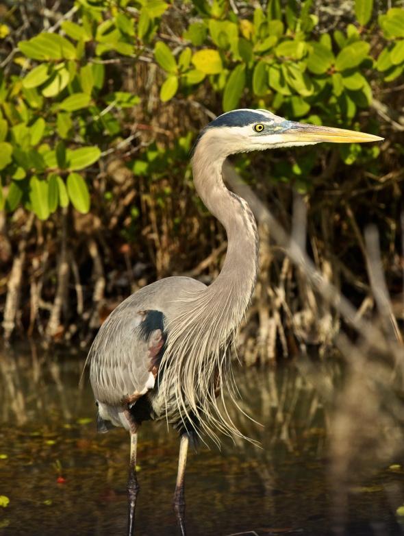 Blue Heron Merritt Island