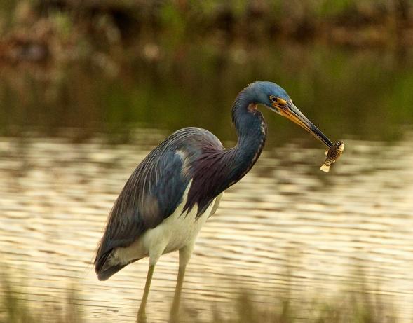Tricolor Heron Merritt Island